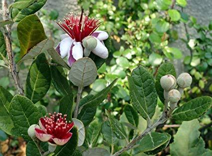 Feijoa Feijoa Acca Sellowiana 140mm