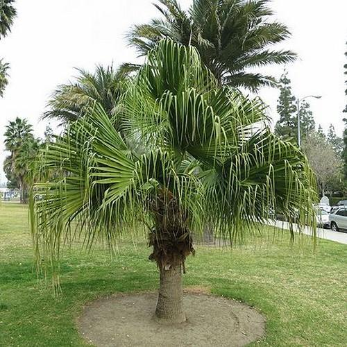 Chinese Fan Palm Livistona Chinensis 1 1m Clear Trunk