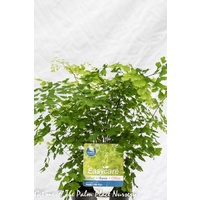 Maidenhair Fern - Adiantum Fragrans 140mm