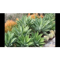 Agave - Agave Attenuata 140mm