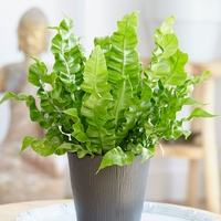 Birds Nest Crispy Wave - Asplenium Nidus Crispy Wave 140mm