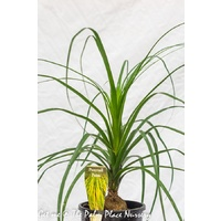 Ponytail Palm - Beaucarnea Recurvata 200mm