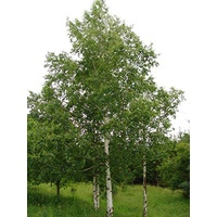 Silver Birch - Betula pendula 400mm
