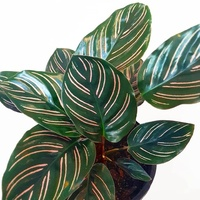 Calathea Beauty Star - Calathea Ornata 180mm