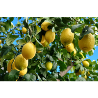 Eureka Lemon - Citrus Lemon Eureka 250mm