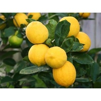 Meyer Lemon - Citrus Meyer Lemon 165mm