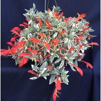 Succulent Hanging Baskets - Columnea variegated Hanging Baskets 170mm