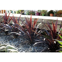 Cordyline australis Renegade 140mm