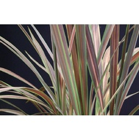 Cordyline Banksii Electric Star 140mm