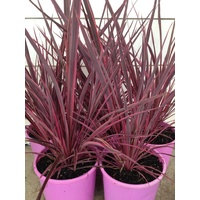 Cordyline Banksii Electric Pink 140mm