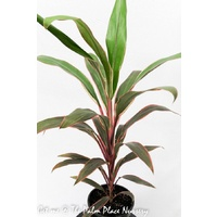 Cordyline Fruticosa Pink Diamond 200mm