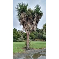 Cabbage Tree - Cordyline Australis Advanced