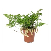 White Rabbit Foot Fern - Davallia humata 200mm Hanging Basket