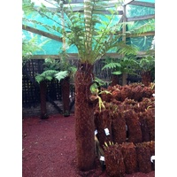 Soft Tree Fern - Dicksonia Antarctica 7 foot