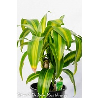 Happy Plant - Dracaena Fragrans Massangeana 200mm