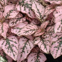 Polka Dot Plant - Hypoestes Pink Splash 130mm
