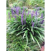 Liriope Muscari 140mm