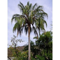 Weeping Cabbage Palm - Livistona decipiens 400mm/45ltr