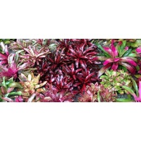 Bromeliad Assorted - Neoregelia Assorted 200mm