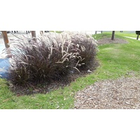 Purple fountain Grass - Pennisetum advena Rubrum 200mm