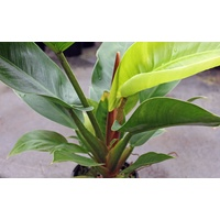 Philodendron Imperial Green 200mm
