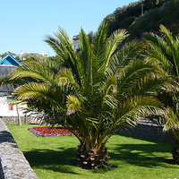 Canary Island Palm - Phoenix Canariensis 400ltr