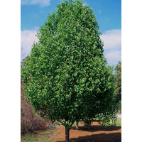 Cleveland Select Pear - Pyrus calleryana Cleveland Select 500mm