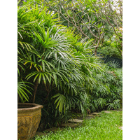 Lady Palm - Rhapis Excelsa 100ltr