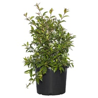 Syzygium Australe Bush Christmas 140mm