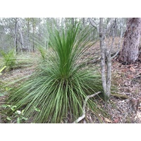 Seed Grown Grass Tree - Xanthorrhoea latifolia 400mm