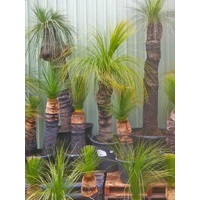 Grass Tree - Xanthorrhoea Australis 50-60cm Trunk