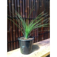 Seed Grown Grass Tree - Xanthorrhoea Glauca 250mm