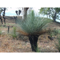 Grass Tree - Xanthorrhoea Glauca 101-110cm Trunk