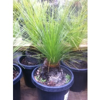 Grass Tree - Xanthorrhoea Johnsonii Size B 0-10cm Trunk