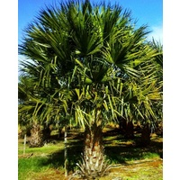 Cabbage Palm - Livistonia Australis 0.7m clear trunk