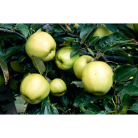 Golden Delicious Apple - Malus Domestica Golden Delicious (Bare Root)