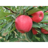 Pink Lady Apple - Malus Domestica Pink Lady (Bare Root)