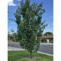 Capital Ornamental Pear - Pyrus Calleryana Capital (Bare Root)