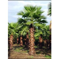 American Cotton Palm - Washingtonia Robusta 3m clear trunk